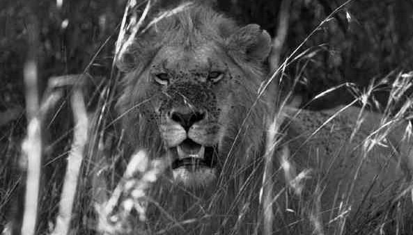 A Lion's Face covered in Flies - Black and White-w1400