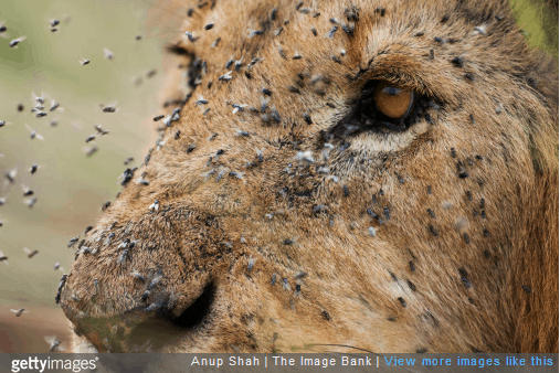 Lion with Flies on His Face - Fear